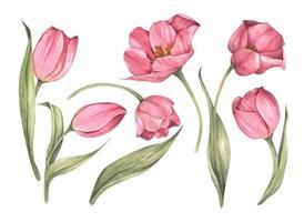 ensemble de tulipes roses. illustration botanique florale aquarelle. vecteur