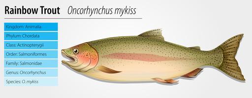 Truite arc-en-ciel - Oncorhynchus mykiss vecteur