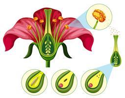 Organes de fleurs et pièces de reproduction vecteur
