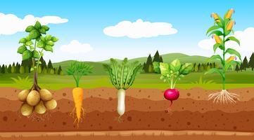 Légumes d'agriculture et racines souterraines vecteur