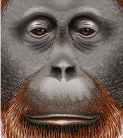 Un orang-outan vecteur