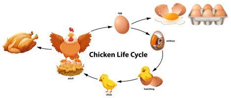 Science du cycle de vie du poulet vecteur