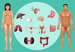 Homme et femme avec différents organes sur une affiche vecteur