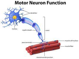 Un vecteur de fonction du neurone moteur