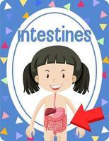 flashcard de vocabulaire avec mot intestins vecteur