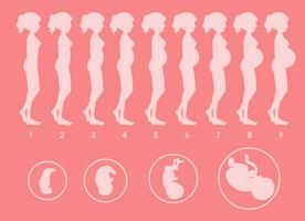 Un vecteur de progression de la grossesse