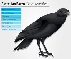 Corbeau australien vecteur