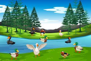 Beaucoup de canard à l'étang vecteur
