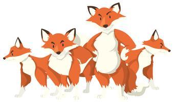 Quatre renards sur fond blanc