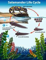 Concept du cycle de vie de la salamandre vecteur