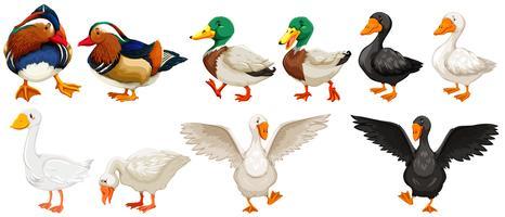 Différents types de canards et d'oie
