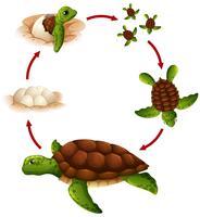 Cycle de vie de la tortue vecteur