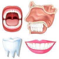 Anatomie des dents humaines vecteur