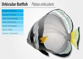 Poisson chauve-souris orbiculaire vecteur