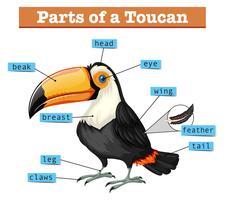 Schéma montrant des parties de toucan vecteur