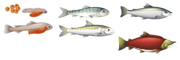 Cycle de vie des saumons vecteur
