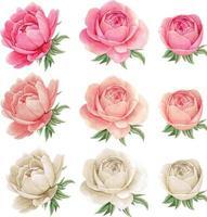 ensemble de pivoines roses et blanches à l'aquarelle vecteur