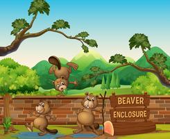 Castors au zoo ouvert