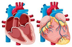 Diagramme montrant des coeurs humains vecteur