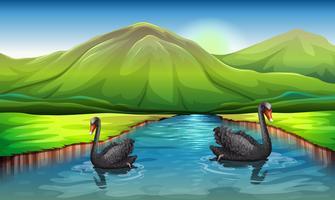Cygnes dans la rivière vecteur
