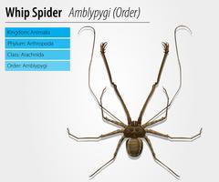 Amblypygi - genre vecteur