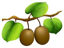 Kiwi frais sur la branche vecteur