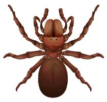 Araignée australienne en entonnoir vecteur