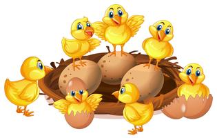 Beaucoup de poussins et d'œufs dans le nid