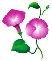 Deux fleurs de gloire du matin de couleur rose vecteur