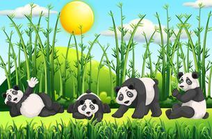 Quatre pandas sur le terrain