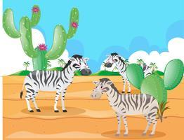 Zèbre vivant dans le désert