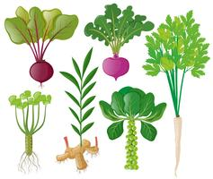 Différents types de légumes racines