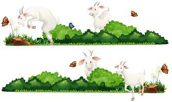 Chèvres blanches dans le jardin