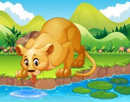 Lion buvant de l'eau dans l'étang