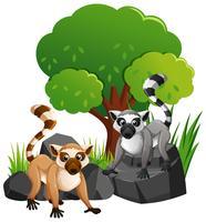 Deux lemures mignonnes sur les rochers