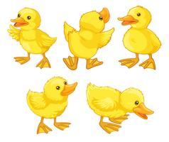 Poussins de canard vecteur