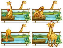 Girafes dans les cadres en bois
