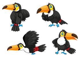 Quatre toucans dans des poses différentes
