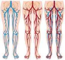 Diagramme montrant les vaisseaux sanguins chez l'homme