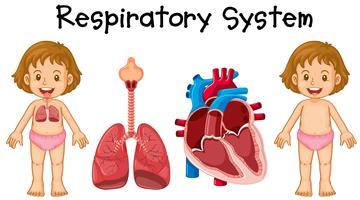 Système respiratoire chez petite fille