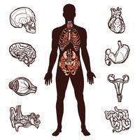 Ensemble d'anatomie humaine vecteur