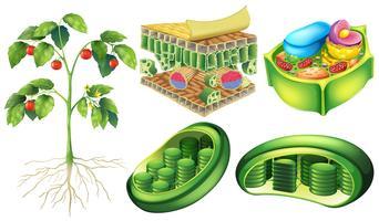 Cellule de plante vecteur
