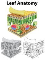 Schéma montrant l'anatomie de la feuille dans trois croquis