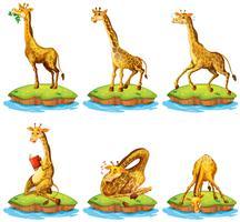 Girafes dans différentes actions sur l'île