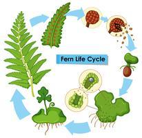 Diagramme montrant le cycle de vie des fougères vecteur