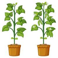 Deux plantes en pot avec des haricots