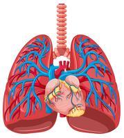 Gros plan du poumon humain vecteur