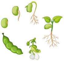 Cycle de vie du haricot vert vecteur