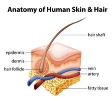 Anatomie de la peau et des cheveux humains vecteur