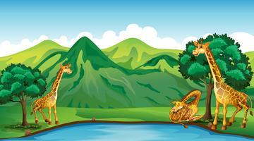 Trois girafes au bord de l'étang